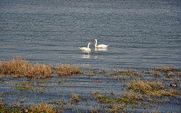 Swans in the river Stock Photography