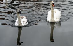 Swans on a river. Two Swans swimming in a river with reflections royalty free stock image