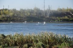 Swans on the river Ural royalty free stock images