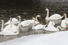Swans on the river in winter day Stock Photos