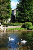 Swans on the River Wye. Royalty Free Stock Photography