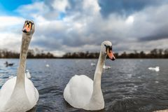 Swans at round pond in Hyde park, London. UK Royalty Free Stock Photos