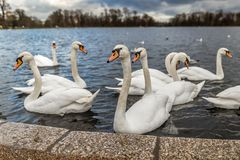 Swans at round pond in Hyde park, London. UK Stock Images
