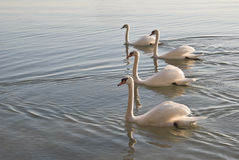 Swans In a Row Stock Image