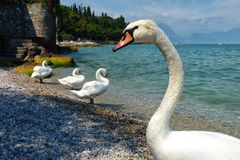Swans in a Row Stock Photo