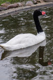 Swans in a Russian zoo. Royalty Free Stock Photos