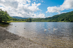 Swans on Rydal Water in the Lake District. Royalty Free Stock Image