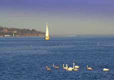 Swans and sailing boat in the sea Stock Photos