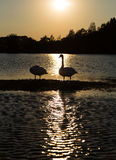 Swans on sandbank. With reflection in the water Stock Photos