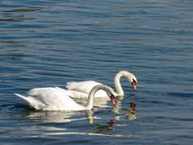 Swans in Sava river royalty free stock photography
