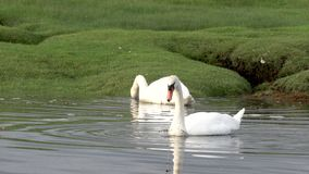 SWANS SCOTLAND 100 IPS HD. Two swams swimming on a loch, searching food stock footage