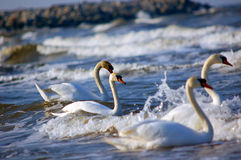 Swans on sea Royalty Free Stock Images