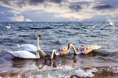 Swans in sea Stock Photos