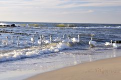 Swans in sea. A group of swans on a beach stock images
