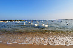 Swans in sea Royalty Free Stock Photo