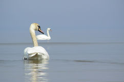 Swans in sea. Swans in Baltic sea royalty free stock photo