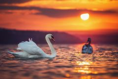 Swans in the sea and beautiful sunset Stock Photos