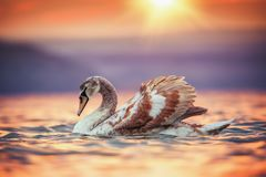 Swans in the sea and beautiful sunset Stock Photography