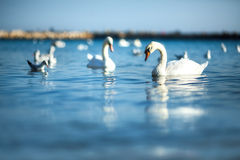 Swans on the sea Stock Photo