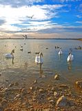 Swans and sea-gulls in the sunset Royalty Free Stock Photography