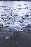 Swans at the sea stock image