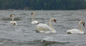 Swans In the sea. Muteswan, muteswans, many, couple, couples, birds, swimming, float, floating, four, birdphotography stock images