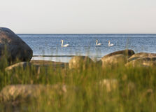 Swans in sea Stock Photo