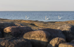 Swans in sea Stock Images