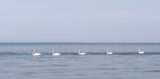 Swans in sea Royalty Free Stock Image