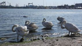 Swans on sea water Royalty Free Stock Photo