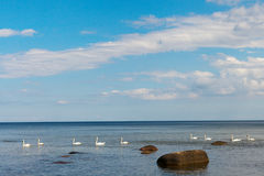 Swans in sea, Royalty Free Stock Photos