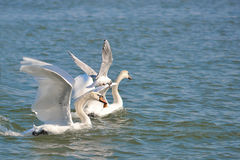 Swans and seagullfood fight stock image