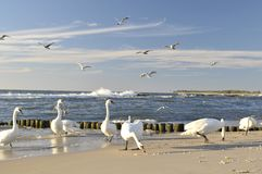 Swans and seagulls Stock Image