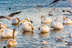 Swans and seagulls. Royalty Free Stock Photo