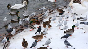 Swans, Seagulls and Pigeons in Prague in Winter stock video