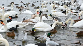 Swans and Seagulls in Winter stock footage