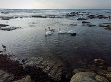 Swans on the seashore. Swans on the stony shore of the Caspian Sea stock photography
