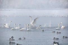Swans Seewinter nebelhaft Lizenzfreie Stockfotos