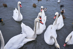 Swans. Several swans at the riverside Stock Photos
