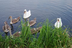Swans at the shore. Swans parents and adults chicks swim near the shore in search of food Stock Image