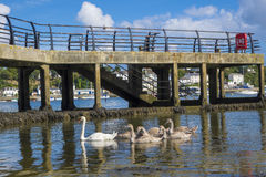 Swans and signets next to the pier Saltash Cornwall England UK. Swans and signets swimming next to the pier in the river Tamar Saltash Cornwall England UK stock images