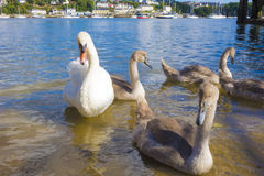 Swans and signets on the river Tamar Saltash Cornwall England UK Stock Images