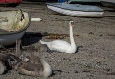 Swans and signets Saltash Cornwall England UK. Swans and signets on the beach Saltash Cornwall England UK Boats in background Stock Image