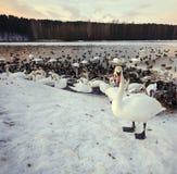 Swans simmar och bor i vintern Arkivfoto