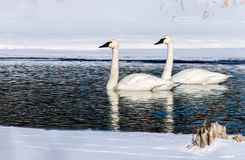 Swans Simming through narrow channel of ice royalty free stock image