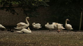 The Swans. Swans sitting in a belgium park stock video