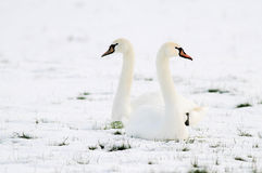 Swans sitting in field of snow Royalty Free Stock Image