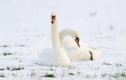 Swans sitting in field of snow Royalty Free Stock Photos