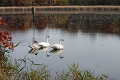 Swans sitting in a lake. royalty free stock photo