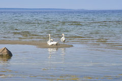 Swans sitting on the sand island near the coastline of the Balti Royalty Free Stock Image